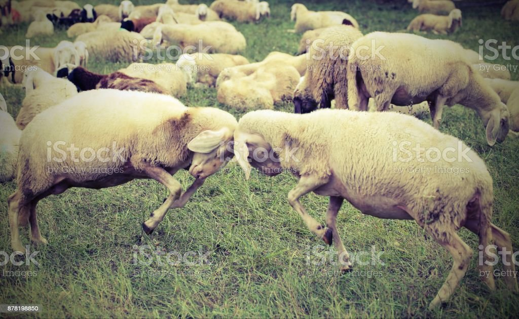 two sheep  clash headlong during the loving season stock photo