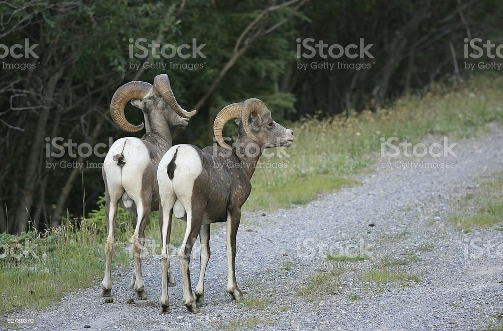 Two Sheep from Behind - Royalty-free Alberta Stock Photo