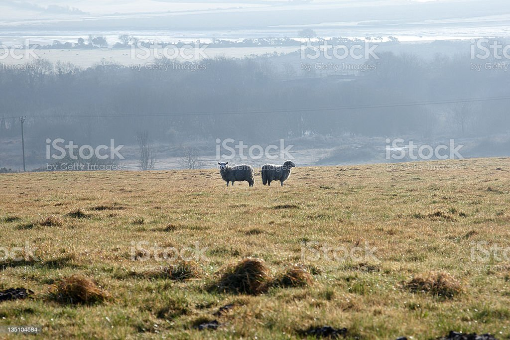 Two sheep in a field royalty-free stock photo