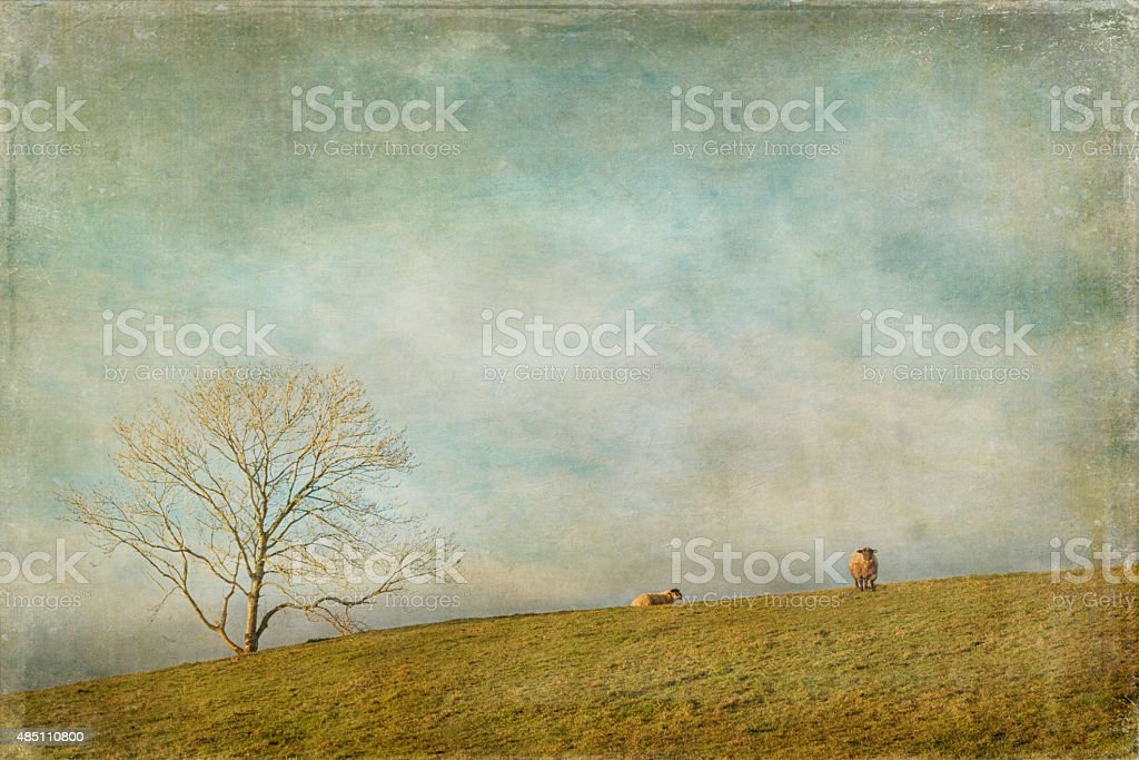 Two Sheep in a field stock photo