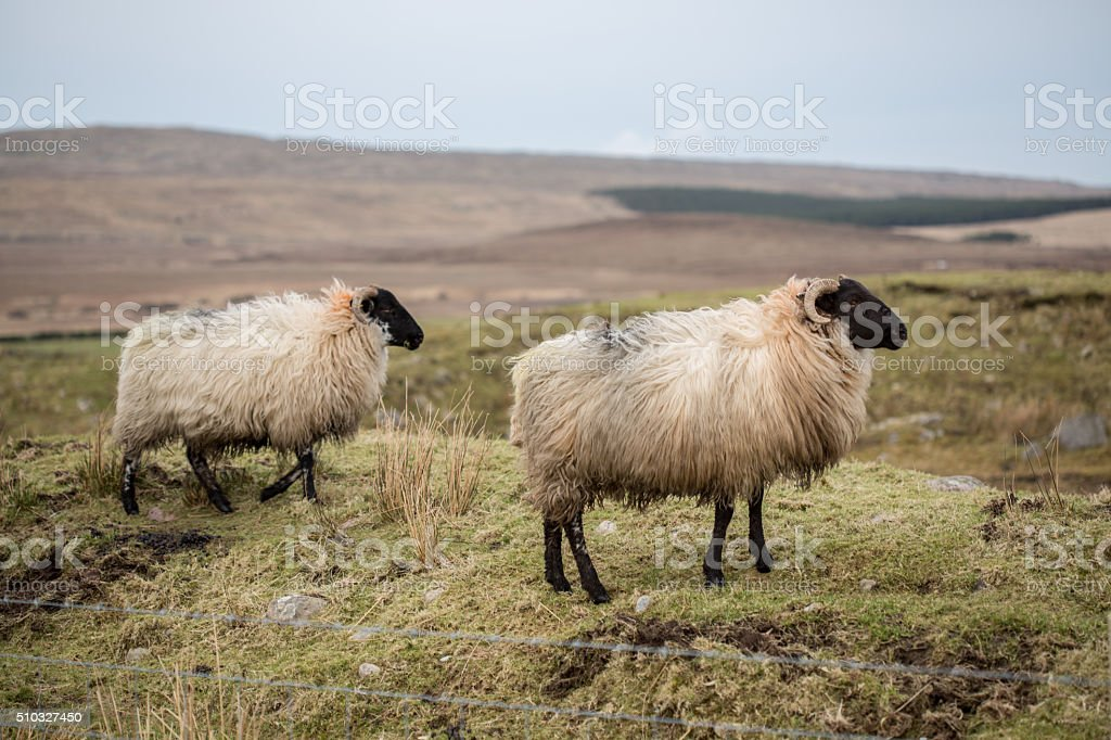 Two sheep in boggy Irish landscape stock photo