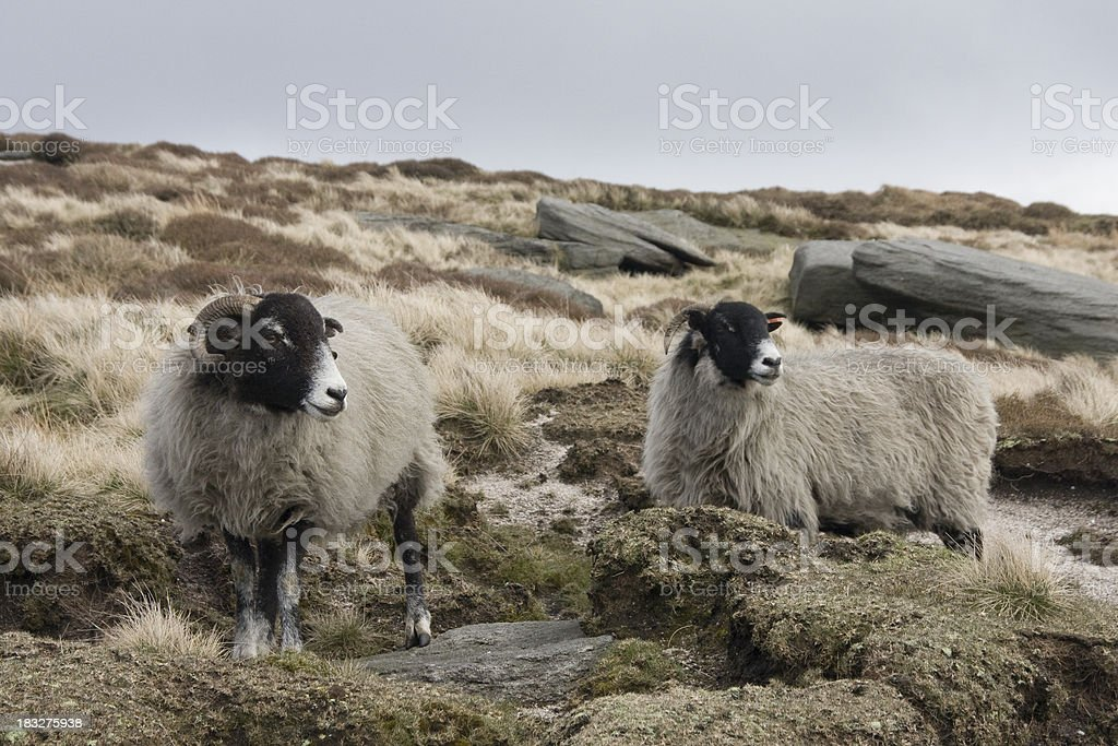 Two Sheep in the Peak District royalty-free stock photo