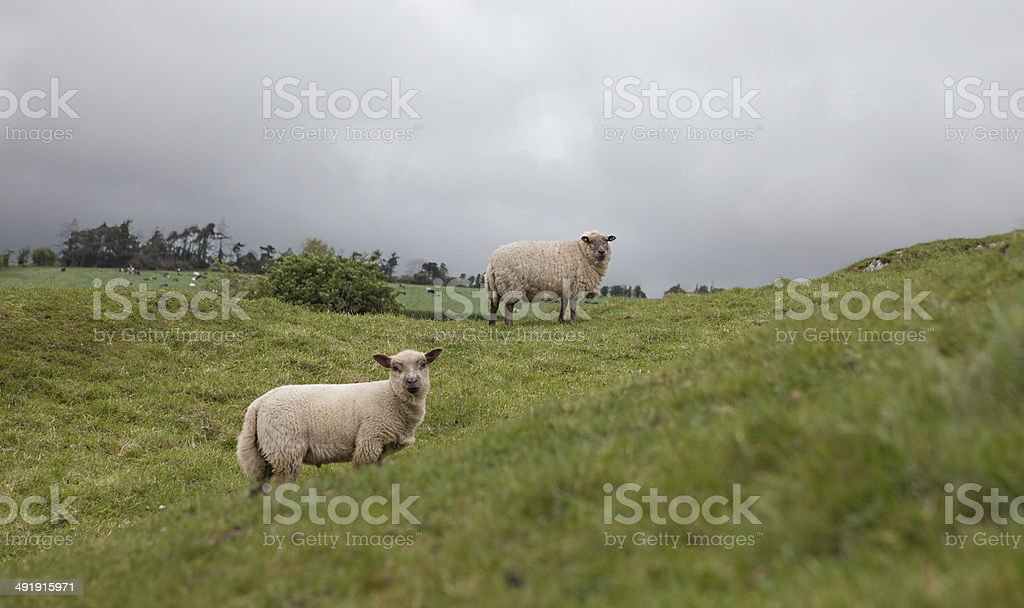 Two Sheep on a Hill royalty-free stock photo