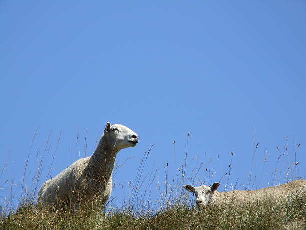 two sheep on top of the hill - belkindesign stock pictures, royalty-free photos & images