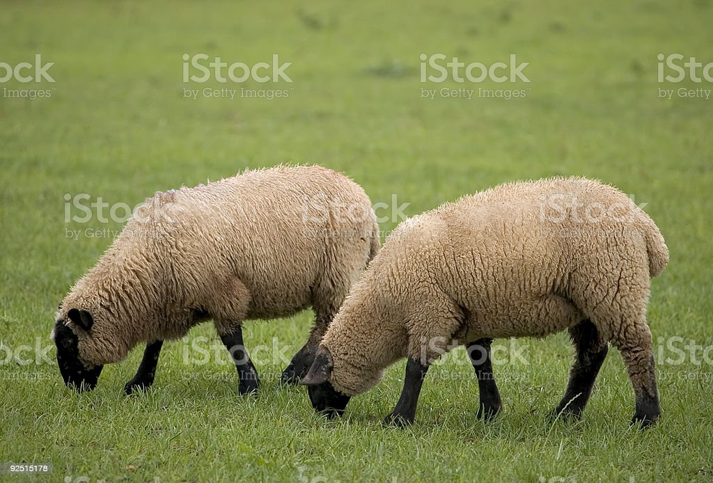 Two Sheep royalty-free stock photo