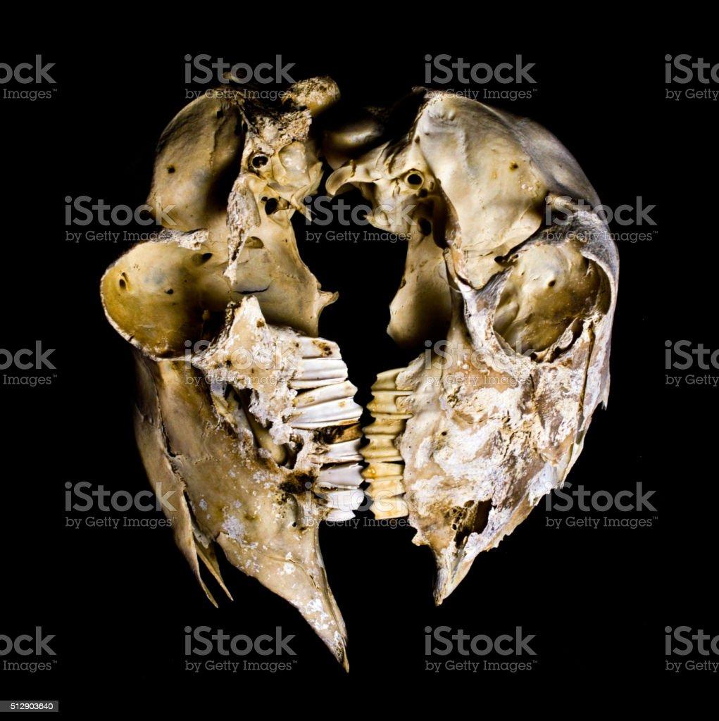 Dos Ovejas Cráneos - Fotografía de stock y más imágenes de Anatomía ...