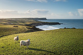 Two sheep standing in grassy field with green rolling hills, with coastal sea in background at sunset, along County Antrim coast, Northern Ireland, looking at camera