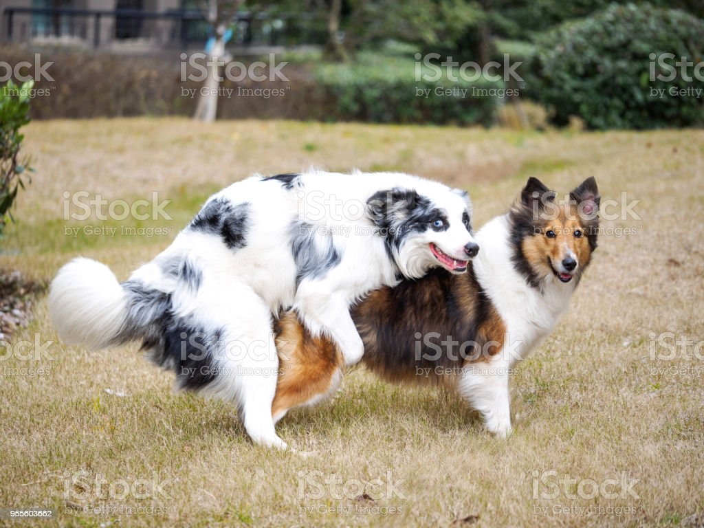 Two sheepdog making love, funny expressions. stock photo
