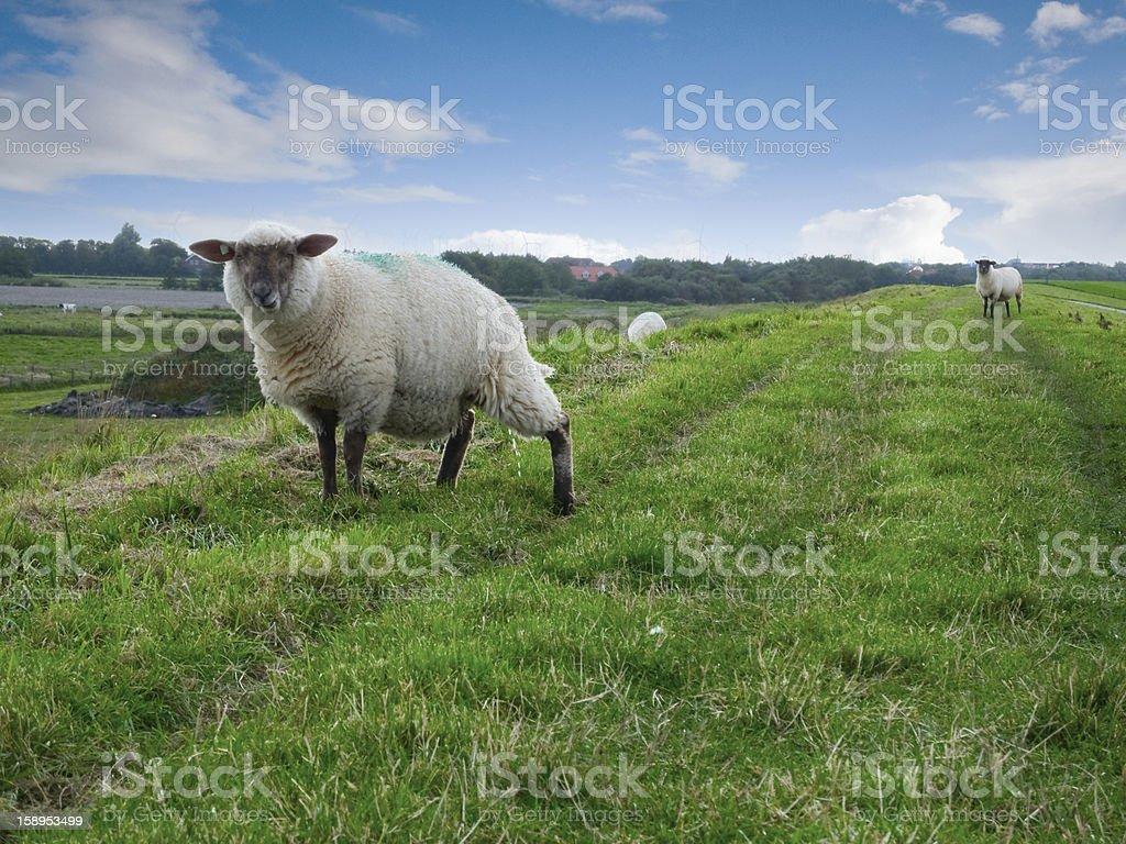 two sheeps on dike stock photo