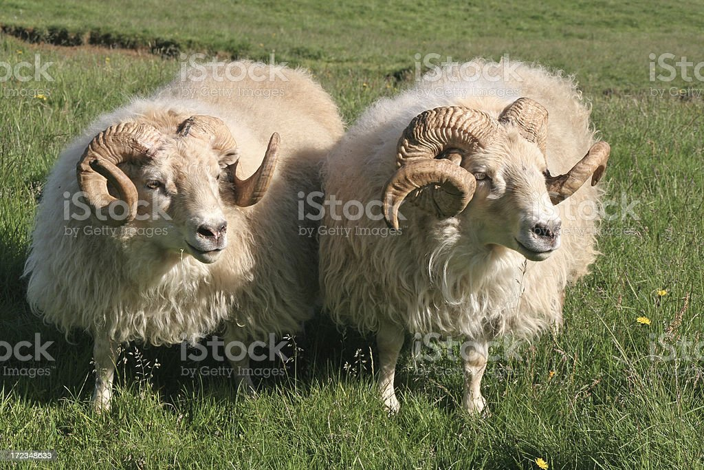 Two sheeps # 1 royalty-free stock photo