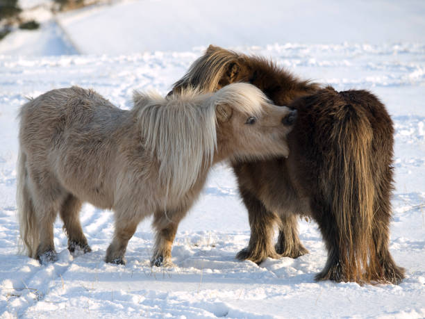 Two Shetland Ponies in the Snow stock photo