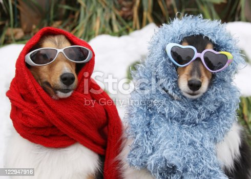 On a snowy day, two Shetland Sheepdogs are all dressed up in scarves and sunglasses.
