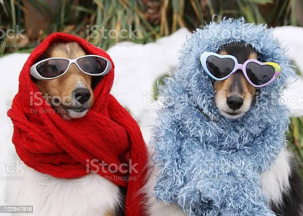 Two shetland sheepdogs wearing sunglasses and scarves in winter picture id122947916?b=1&k=6&m=122947916&s=612x612&h=z3kgt vvijn jxfxg 3miemiqn38jo kc v dql24nk=