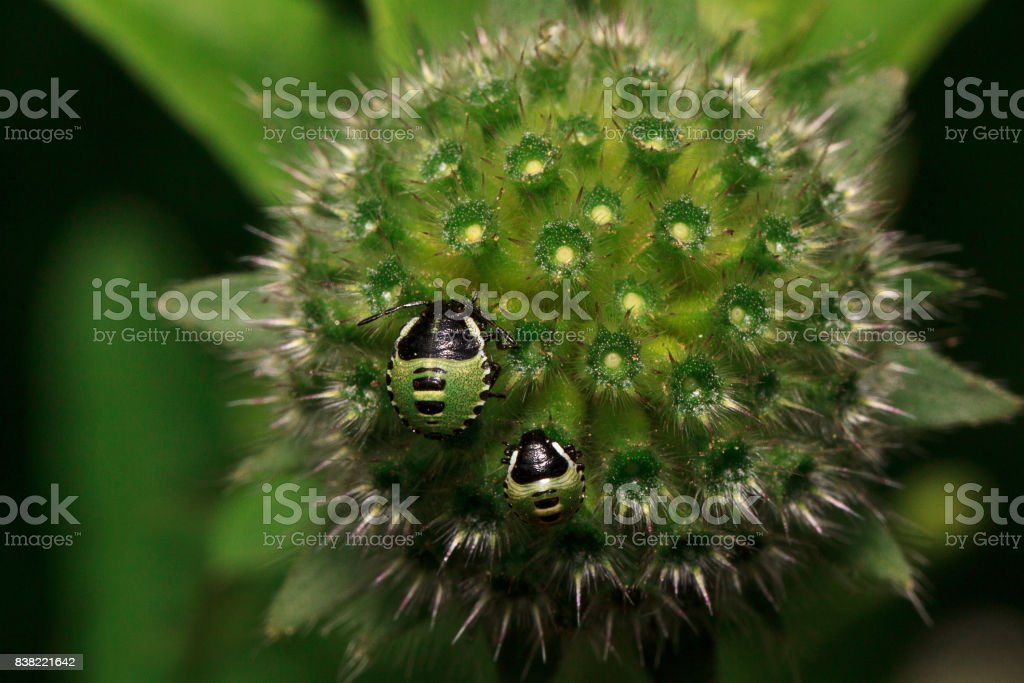 Two shield bugs are sitting on a green flower. stock photo