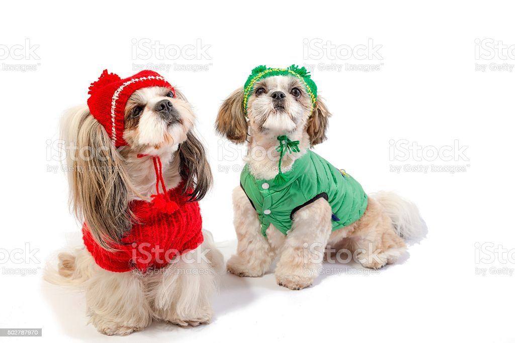 Two Shihtzu Puppies In Winter Clothes Stock Photo Download Image Now Istock