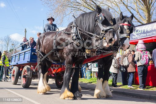 Thriplow, Cambridge, England, UK - March 2019: Two Shire breed British black horses standing in harness, with cart behind carrying people