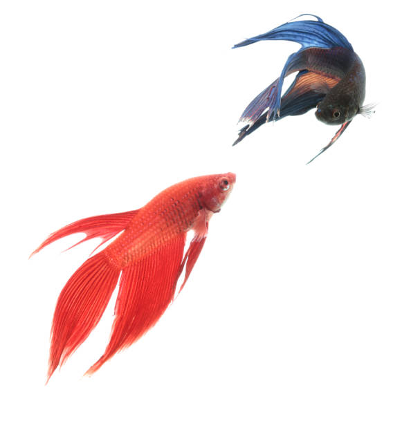 Two Siamese fighting fish against white background stock photo