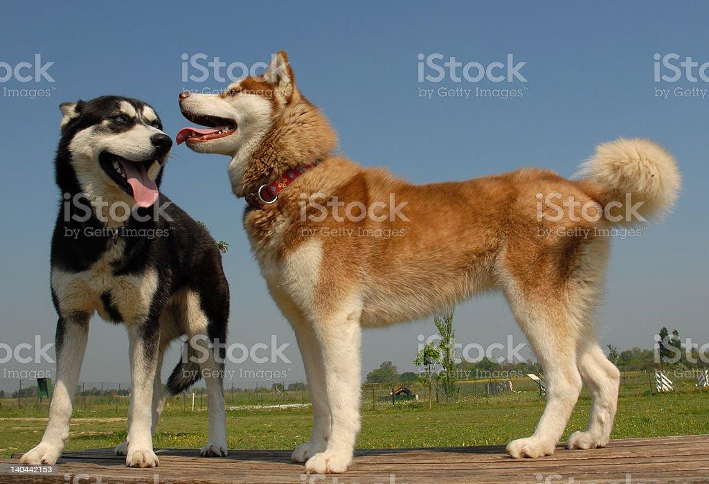 two siberian huskies royalty-free stock photo