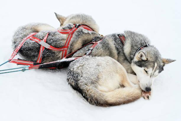 Two Siberian Huskies sleeping in deep snow stock photo