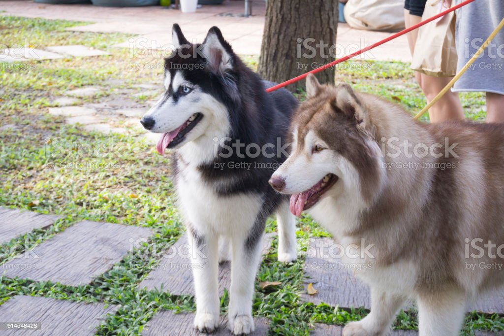 Two Siberian husky dogs are standing in the park stock photo