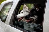 istock Two siberian husky dogs peek out the car window 1204265681