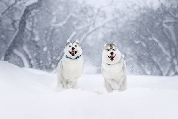 two siberian husky dogs running in winter two happy siberian husky dogs running in the snow husky dog stock pictures, royalty-free photos & images