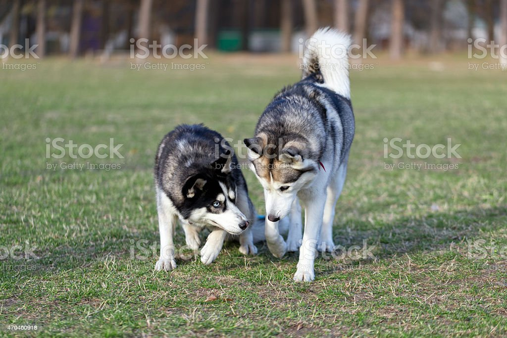 Two Siberian Husky is strolling next to each other. stock photo