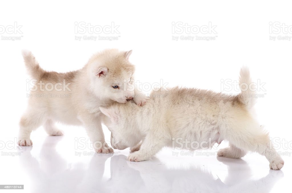 Two Siberian Husky Puppies Playing On White Background Stock Photo Download Image Now