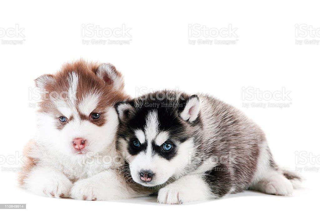 Two Siberian husky puppy isolated royalty-free stock photo