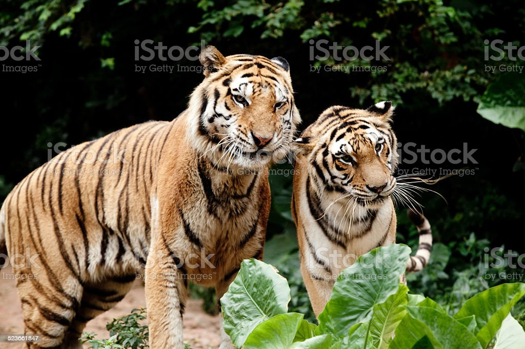 two Siberian Tiger stock photo
