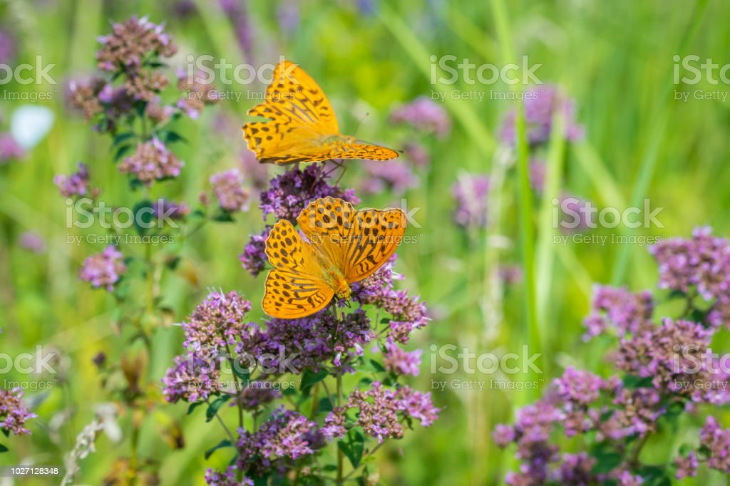 Two Silver-washed fritillaries foraging stock photo