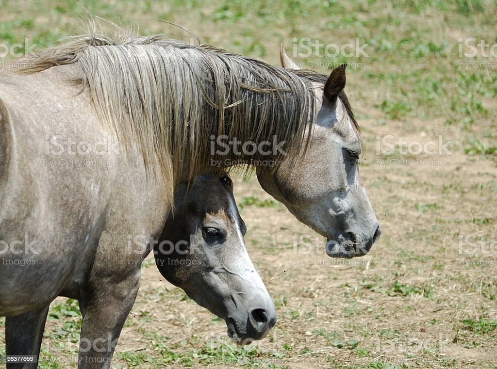 Two similar arabian horses at pasture in Catalonia (Spain) royalty-free stock photo