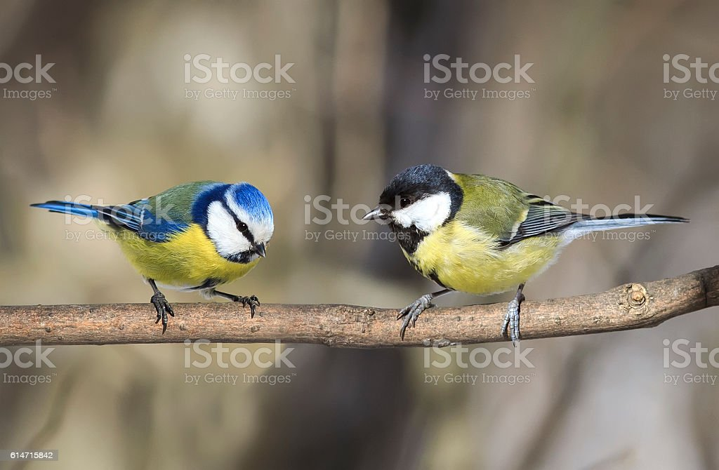 two similar birds titmouse sitting on a branch stock photo