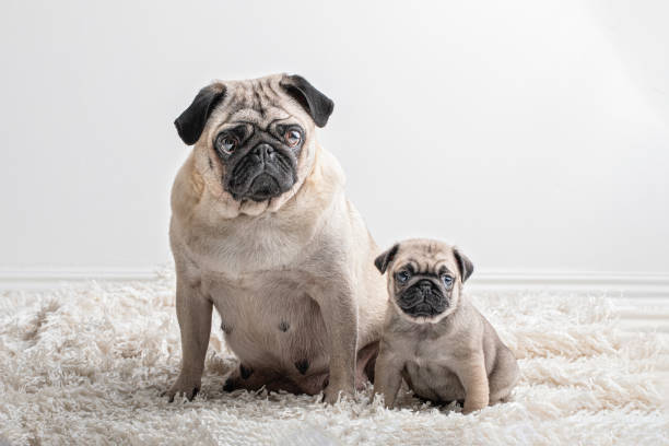 Two similar Pug dogs, one large and one small sitting and looking at camera. They are a mother and her pup. Two similar Pug dogs, one large and one small sitting and looking at camera. They are a mother and her pup. animal family stock pictures, royalty-free photos & images