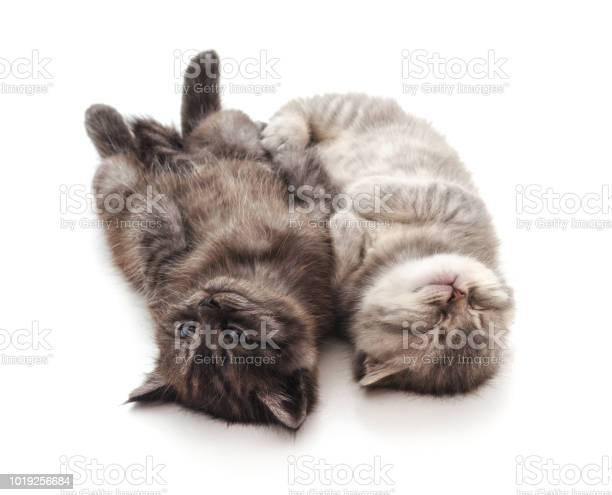 Two sleeping baby kittens picture id1019256684?b=1&k=6&m=1019256684&s=612x612&h= dkqkoffbmp1 tvxe80 7umq9ujkwfk4qfepflj q9o=