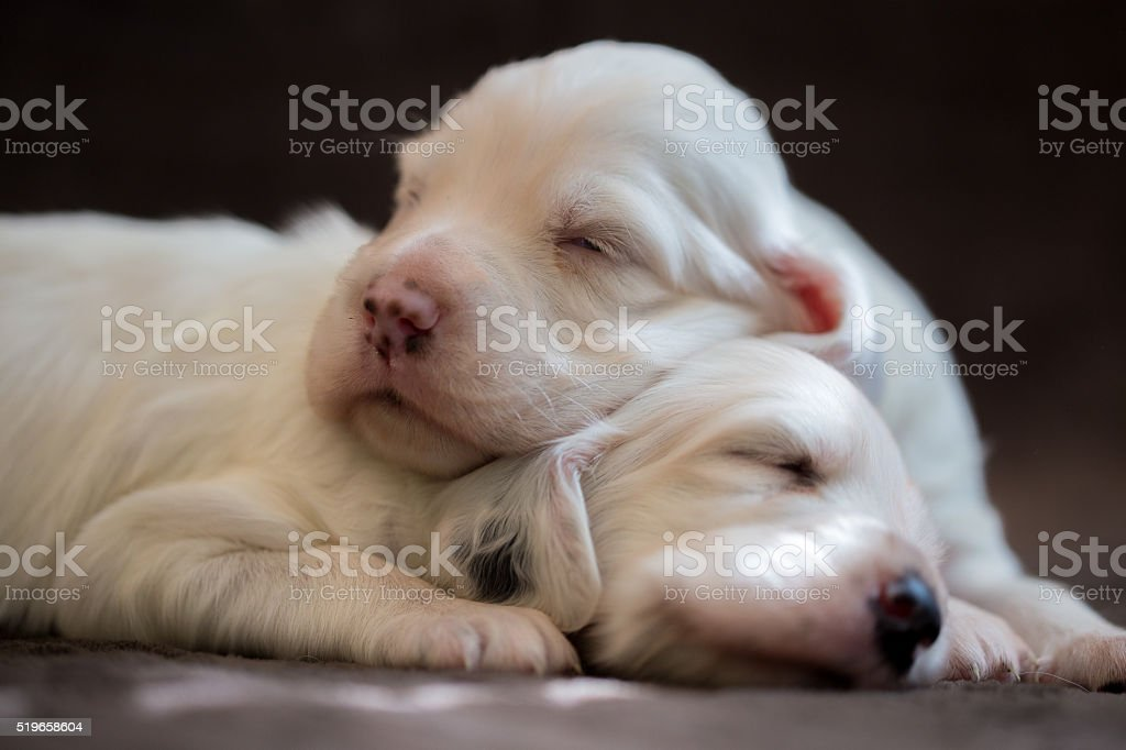 Two sleeping puppies stock photo