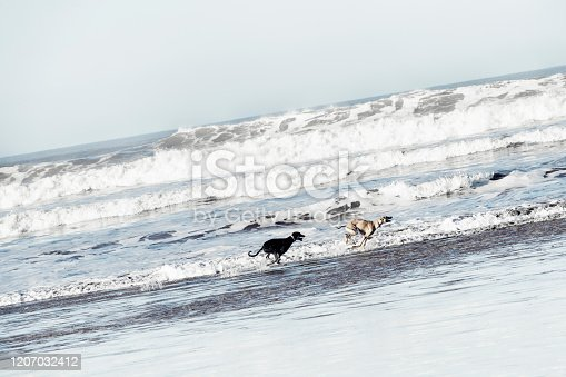 Two Sloughi dogs (Arabian greyhound) run at the beach at the Atlantic ocean in Essaouira, Morocco. High key image with muted colors.