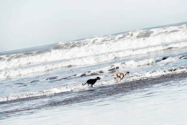 Two Sloughi dogs (Arabian greyhound) run at the beach stock photo