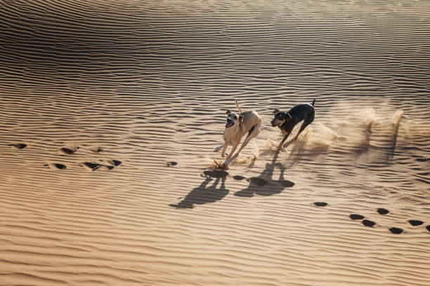 Two Sloughi dogs (Arabian greyhound) run in the sand dunes in the Sahara desert of Morocco. stock photo