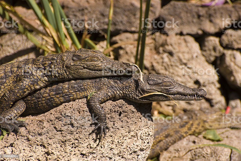 Two Small Alligators (Alligator Mississippiensis) stock photo