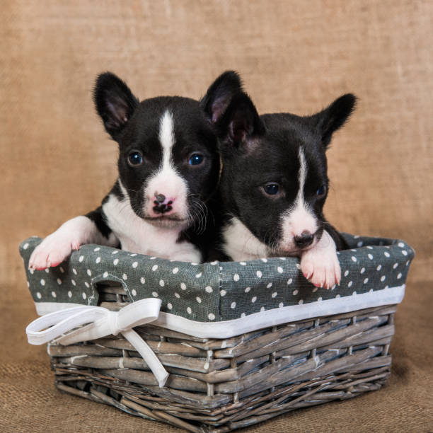 Two small babies Basenji puppies dogs are kissing stock photo