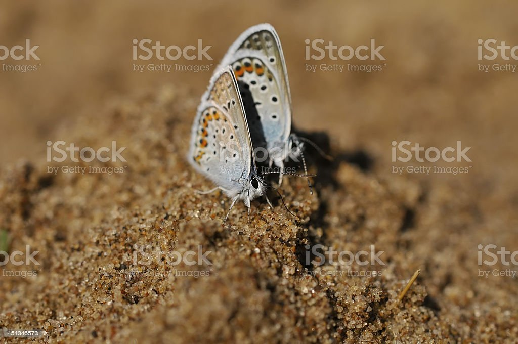 two small blue butterfly(Lycaenidae) royalty-free stock photo