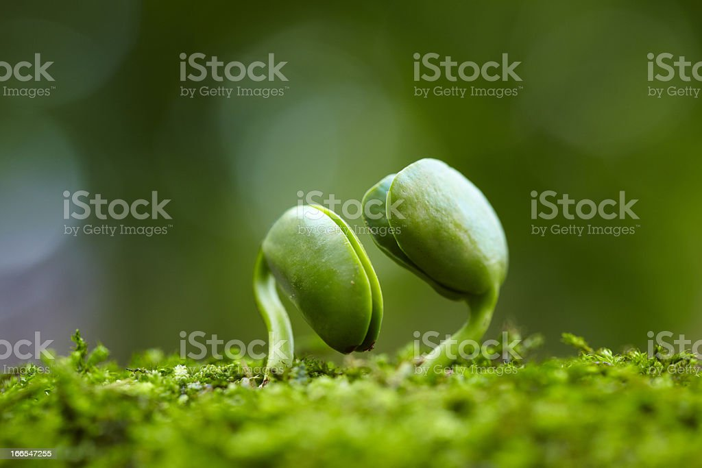 two small bud growing together in spring stock photo