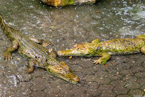 Alligator of Orinoco river.