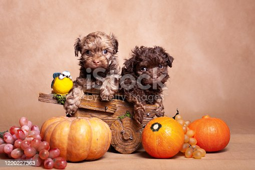 Still life with two small curly dogs (breed Russian colored lapdog) and a crop consisting of three pumpkins, grapes, and a small bird, on a beige background in a room in a photo studio