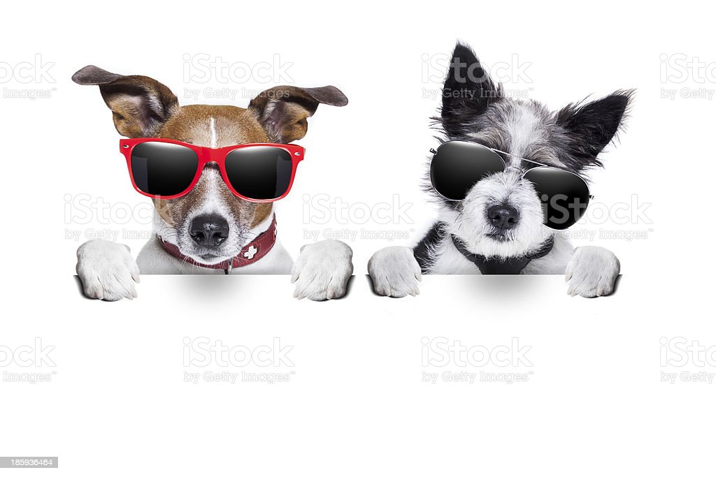Two small dogs wearing sunglasses with a white background stock photo