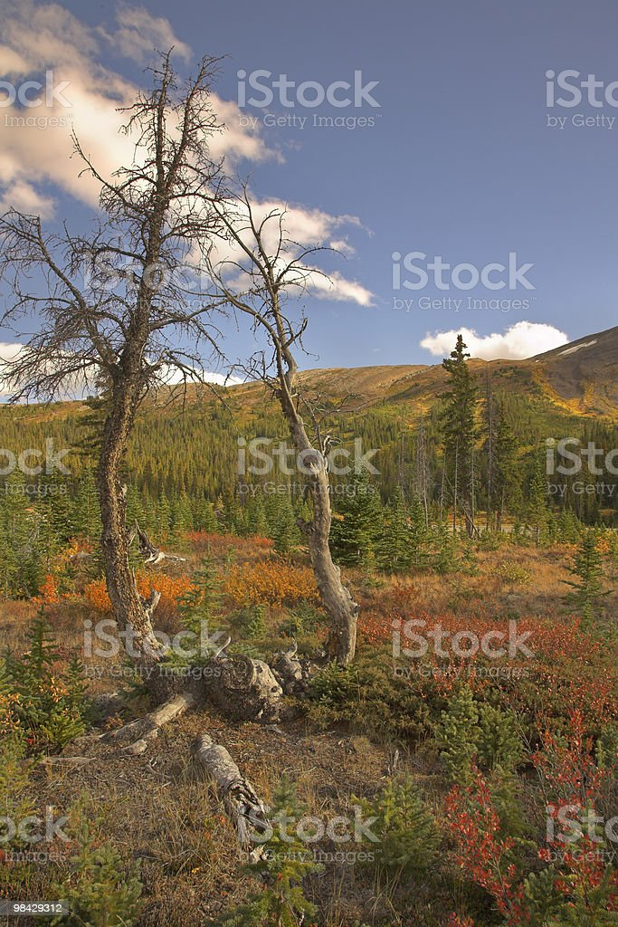 Two small dry trees. royalty-free stock photo