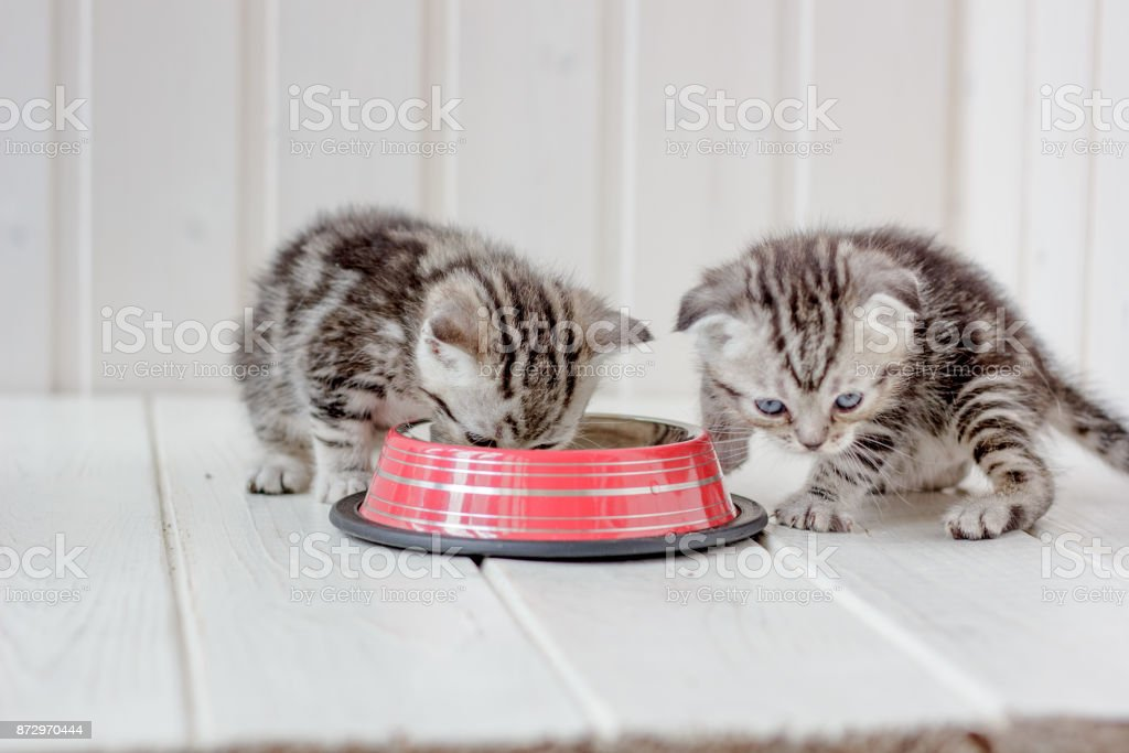 Two small gray kittens drinks water from bowl. stock photo