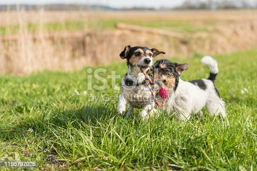 885056264 istock photo Two small Jack Russell Terrier are running and playing togehter in the meadow with a ball 1195797025
