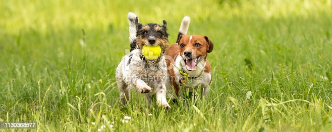 Several dogs run and play with a ball in a meadow - a cute pack of Jack Russell Terriers